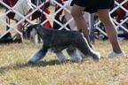 Miniature Schnauzer show dog.  (PRNewsFoto/Responsible Pet Owners Alliance)
