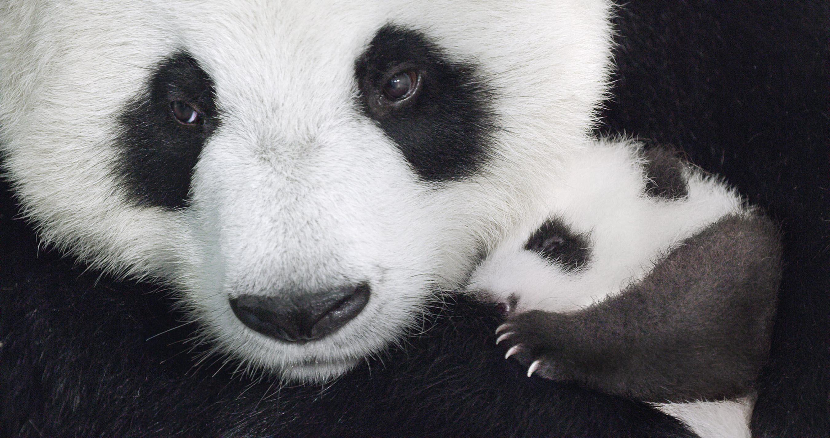 Disneynature Born in China Panda Family