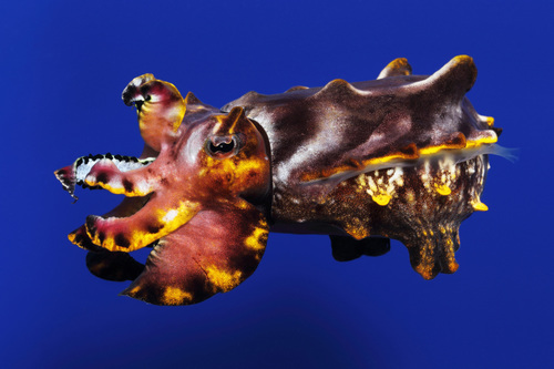 """The colorful flamboyant cuttlefish, Metasepia pfefferi, is featured in the new special exhibition, """"Tentacles: The Astounding Lives of Octopuses, Squid and Cuttlefishes"""", at the Monterey Bay Aquarium. Credit: (c) Monterey Bay Aquarium/Randy Wilder. (PRNewsFoto/Monterey Bay Aquarium) (PRNewsFoto/MONTEREY BAY AQUARIUM)"""