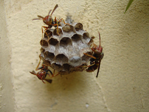 Wasps can pose serious health risks to people who are allergic to their stings.  (PRNewsFoto/Orkin, LLC)