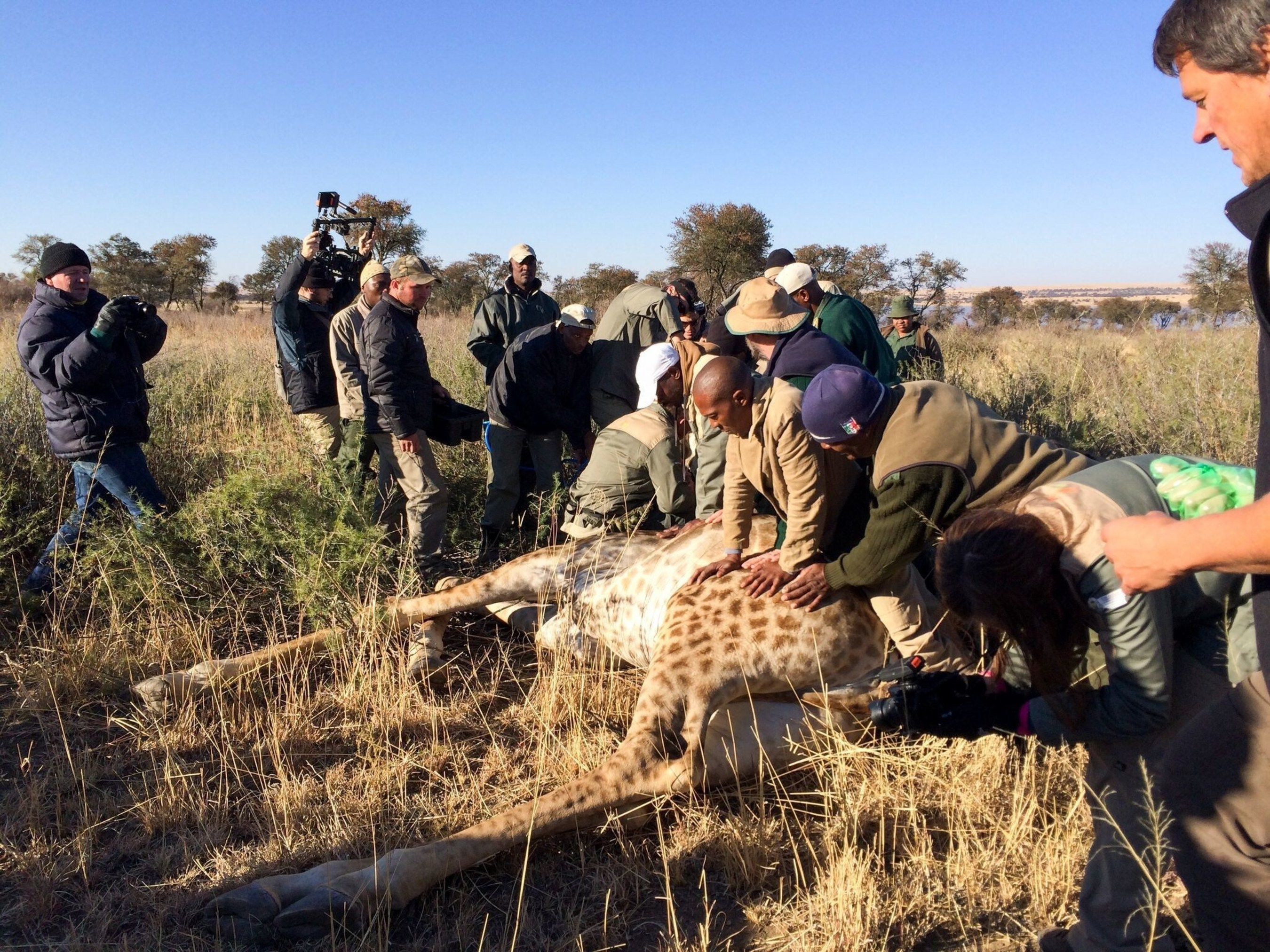 South Africa University of the Free State lecturer in wildlife management Dr. Francois Deacon collars a wild giraffe with a GPS tracking device. Collars and ear tags help Deacon silently follow wild giraffe in Africa to learn of habits that may be leading to their decline.
