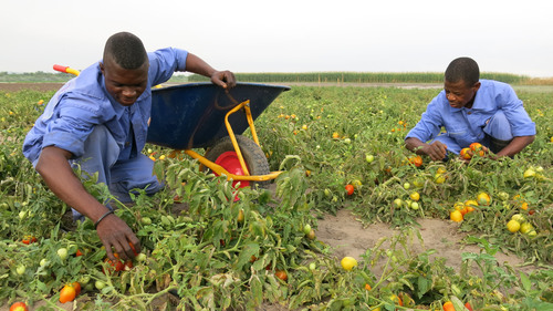 Congolese workers at the Kitoko Food Farm, a joint project of the Gertler Family Foundation and the Fleurette Group,  harvest tomatoes that will be sent to market.  (PRNewsFoto/Gertler Family Foundation)