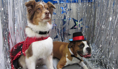 Asa and Apollo pose for their formal couples portrait at the Best Friends Pet Care Doggy Prom in Chicago. More than 600 canine couples are attending 38 proms hosted by Best Friends across the country this week.  (PRNewsFoto/Best Friends Pet Care)
