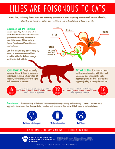 Infographic from Chicago Veterinary Emergency & Specialty Center warns of the dangers lilies present to cats and provides information about what to do if a cat ingests any part of a lily. (PRNewsFoto/Chicago Veterinary Emergency ...)
