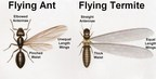 Flying ant vs. flying termite. Can you tell the difference?