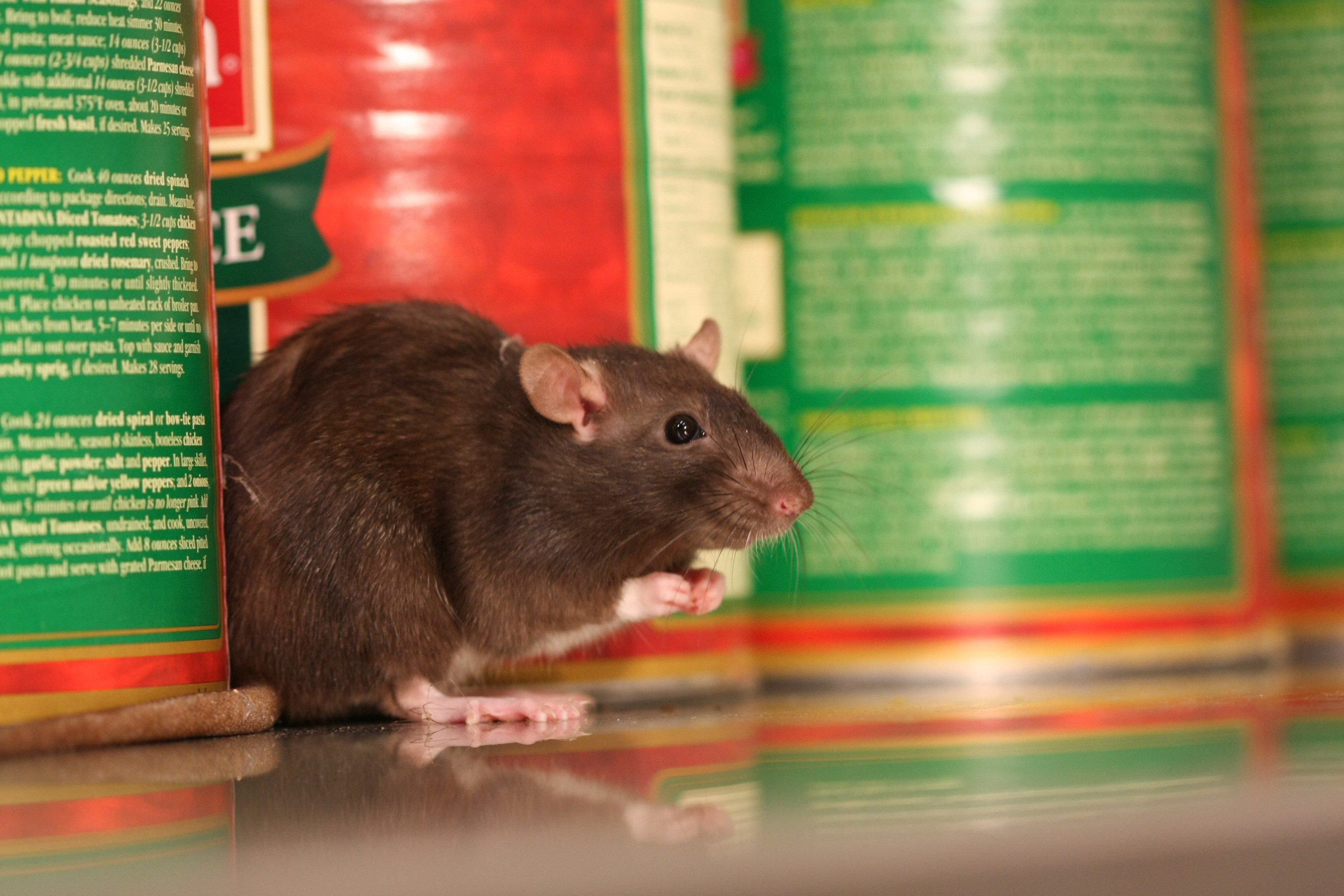 Chicago tops Orkin's Top 50 Rattiest Cities List, based on Orkin's rodent treatment data from October 1, 2015 - September 30, 2016.