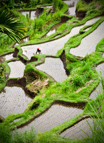 Balinese rice terraces, courtesy of Paragon Pixels. (PRNewsFoto/Crystal Cruises)