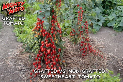 Grafted vs Non-Grafted Sweetheart Tomato.  (PRNewsFoto/Mighty 'Mato)
