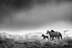 Free-roaming, wild horses in Utah. (PRNewsFoto/jennifermaharry.com)