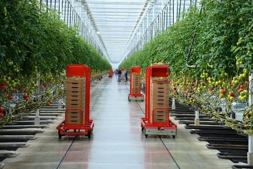 Mastronardi Produce utilizes state-of-the-art technology at its Coldwater, Mich. greenhouse to deliver fresh, Michigan-grown tomatoes on the vine to Meijer customers year-round, even in the middle of winter. (PRNewsFoto/Meijer) (PRNewsFoto/MEIJER)