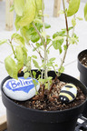 Painted rocks decorate a basil plant cared for by Special Tree clients.   (PRNewsFoto/Special Tree Rehabilitation System)