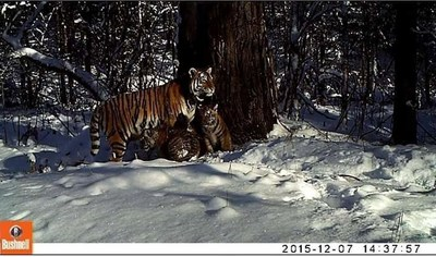 For the first time ever a rehabilitated Siberian (Amur) tiger gives birth to cubs in the wild. In this photo, Zolushka aka Cinderella the tigress with her two cubs in a nature reserve in Far East Russia. (C)Bastak