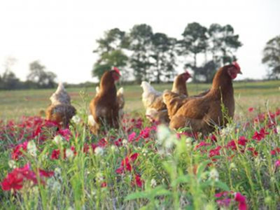 Pasture Raised - 108 sq. ft / bird, outdoors year-round.