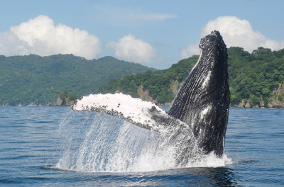 Humpback whale in Costa Rica