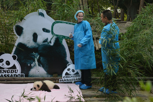 Rebecca Ravich, a Chengdu Pambassador finalist from Los Angeles announces the name of a 3-month old baby panda born on the opening day of the London Olympics, Oreo, with Panda Base Director, Dr. Zhang Zhihe, at Chengdu Panda Base in Chengdu, China.  (PRNewsFoto/Chengdu Panda Base)
