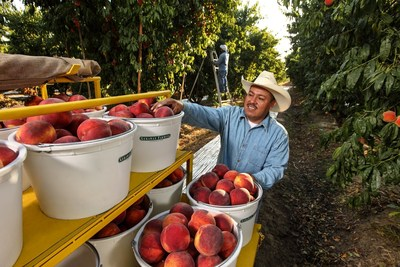 Peach harvest at Gerawan Farming (Fresno, California)