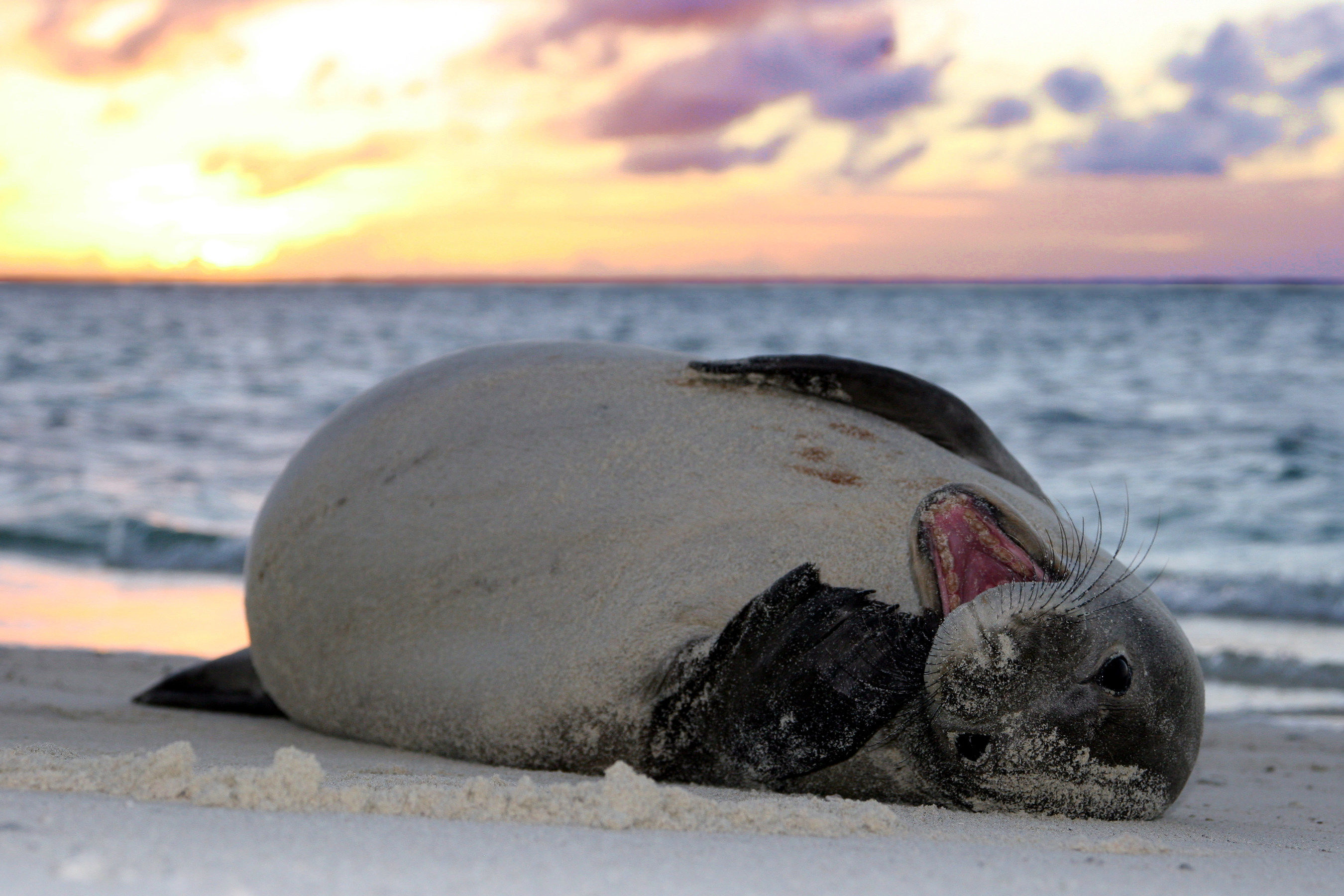 Hawaiian Monk Seal, Mark Sullivan NMFS Permit 10137-07/NOAA