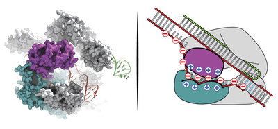 Slaymaker and Gao et al. used structural knowledge of Cas9 to guide engineering of a highly specific genome editing tool. Courtesy: Ian Slaymaker, Broad Institute of MIT and Harvard