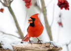 Northern Cardinal.  (PRNewsFoto/National Audubon Society, Jerry Acton)