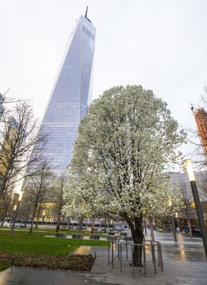The Survivor Tree in New York City.