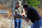 Georgia Power and Southern Nuclear environmental teams tag a gopher tortoise as part of the company's relocation program at Plant Vogtle.