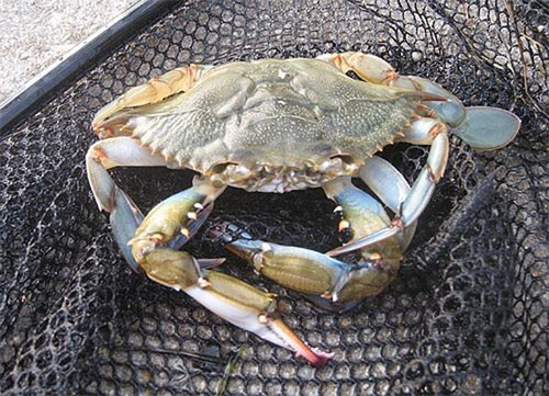 Blue Crab.  (PRNewsFoto/Metabolix, Inc.)