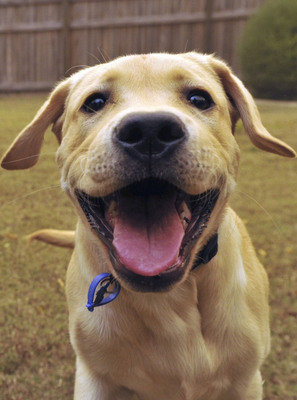 Flash, a three-year-old yellow Labrador Retriever with a talent for learning tricks and a healthy smile, took the top spot in the Superstar Smiles Photo Contest sponsored by SENTRY® Petrodex®,a dental brand from Sergeant's Pet Care Products, Inc.