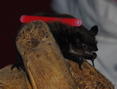 Bat from the underground sand mine.  (PRNewsFoto/Fairmount Minerals)