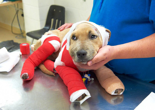Trooper a few days after being rescued from a horrific accident last November by the Humane Society of ...