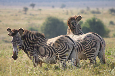 Grevy's zebra are an endangered species with less than 2,500 individuals in the wild.  (PRNewsFoto/IBM)