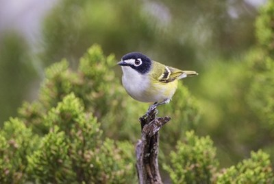 Black Capped Vireo - Val Verde Conservancy, LLC (VVC) is pleased to announce that it has recently obtained formal approval from the U.S. Fish and Wildlife Service (USFWS) Region 2 for the Val Verde Conservation Bank (VVCB) in Val Verde County Texas.
