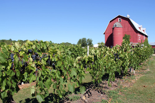 Grapes ready to be harvested at Orchard Country Winery, one of Door County, Wisconsin's eight wineries. The Door County Wine Trail provides visitors with a great opportunity to tour the wineries and taste a variety of grape and other fruit wines that are made in Door County. Door County Visitor Bureau/DoorCounty.com photo.  (PRNewsFoto/Door County Visitor Bureau)