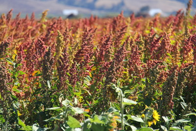 Lundberg Family Farms is working with a trusted network of growers to bring in 2 million pounds of American-grown quinoa this harvest season, including new Organic Antique White Quinoa rolling out on store shelves this month.