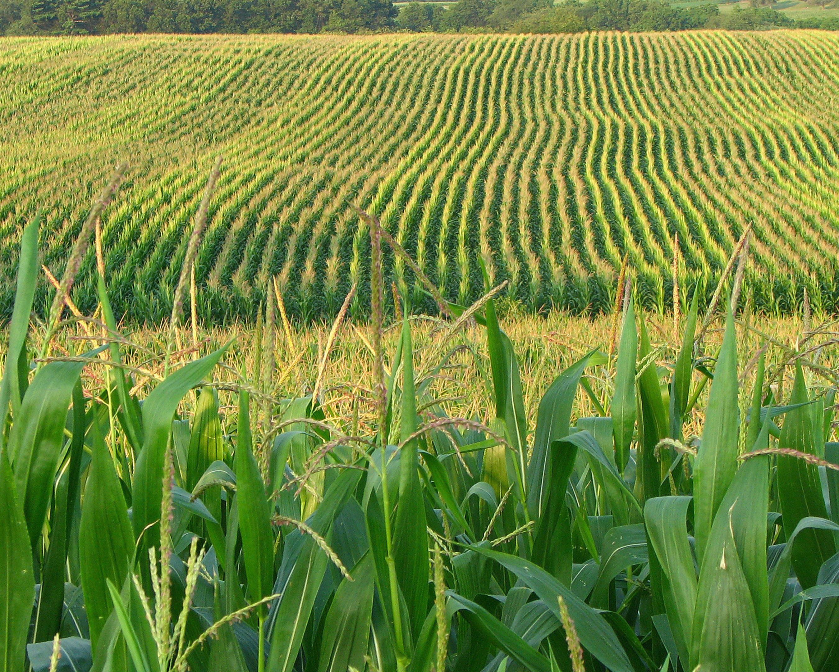 Mikal Watts leads GMO Corn Lawsuit Against Syngenta