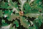 Quercus macrocarpa, Bur Oak, Garden Club of America 2015 Plant of the Year.  Photo Credit: USDA