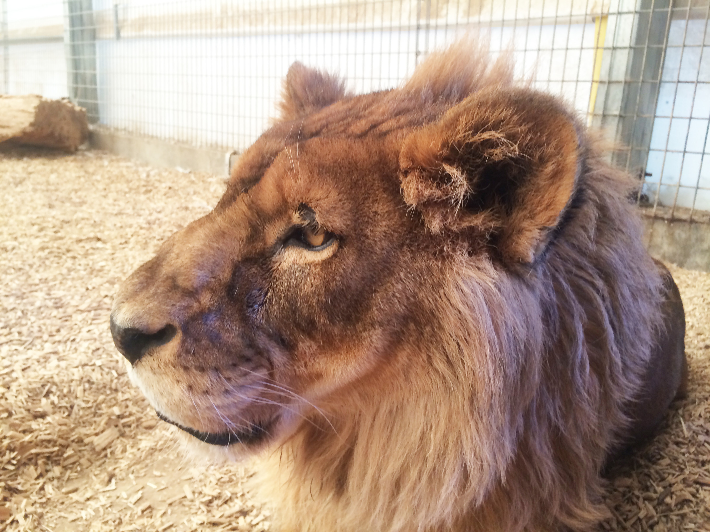 Rescued Female African Lion