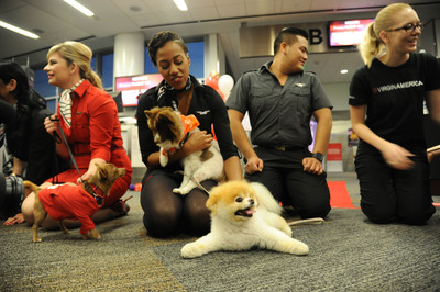 """Virgin America in-flight teammates and Boo welcome Chihuahua pups being flown to EWR onboard Virgin America's fifth """"Operation Chihuahua"""" airlift.(PRNewsFoto/Virgin America) (PRNewsFoto/VIRGIN AMERICA)"""