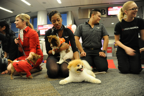 Virgin America in-flight teammates and Boo welcome Chihuahua pups being flown to EWR onboard Virgin ...