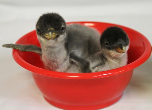 Cute Alert: The first two baby penguin chicks of the breeding season hatched this week at the Moody Gardens Aquarium Pyramid located in Galveston, Texas. They weighed in at 255 and 110 grams and will move to The Deep in Hull, England in February. (PRNewsFoto/Moody Gardens) (PRNewsFoto/MOODY GARDENS)