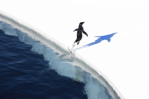Adelie penguin in the Ross Sea, Antarctica. Credit: John B. Weller. (PRNewsFoto/The Pew Charitable Trusts) ...
