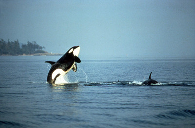 Two Russian-caught killer whales are scheduled to be on exhibit at the 2014 Sochi Olympics. (PRNewsFoto/Animal Fund) (PRNewsFoto/ANIMAL FUND)