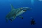 Pew celebra acción conjunta de Honduras y Costa Rica para la protección de los tiburones martillos