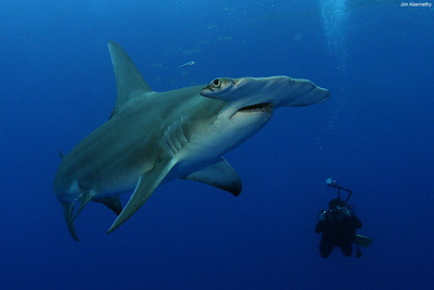 Great hammerhead shark.  Gran tiburon martillo. (PRNewsFoto/Pew Environment Group)