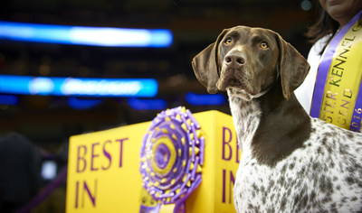 2016 Best in Show winner CJ, a German Shorthaired Pointer, celebrates his victory following the 140th Westminster Kennel Club Dog Show on February 16, 2016, at Madison Square Garden in New York City. CJ is the 10th consecutive Best in Show winner to be fueled by Purina Pro Plan.
