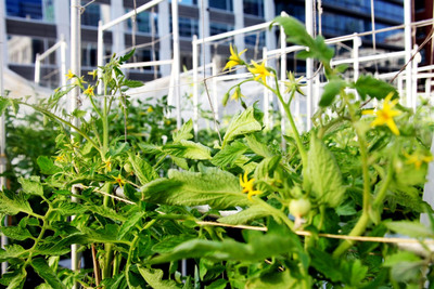 This Chicago rooftop restaurant garden supplies renowned Chef Rick Bayless of Frontera Grill, XOCO and Topolobampo fame with the freshest possible produce for salsa, guacamole, sauces and garnishes.  (PRNewsFoto/EarthBox, Arthur Mullen)