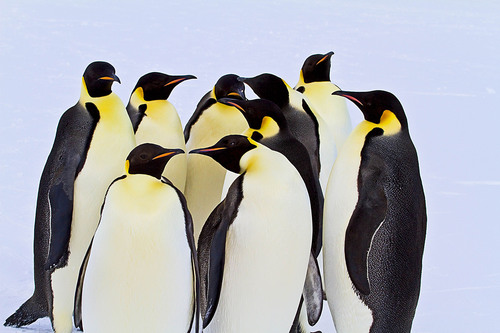 4 Will Evaluate 5 So 1 Can Win a $45,000 Antarctic Cruise to an Emperor Penguin Rookery