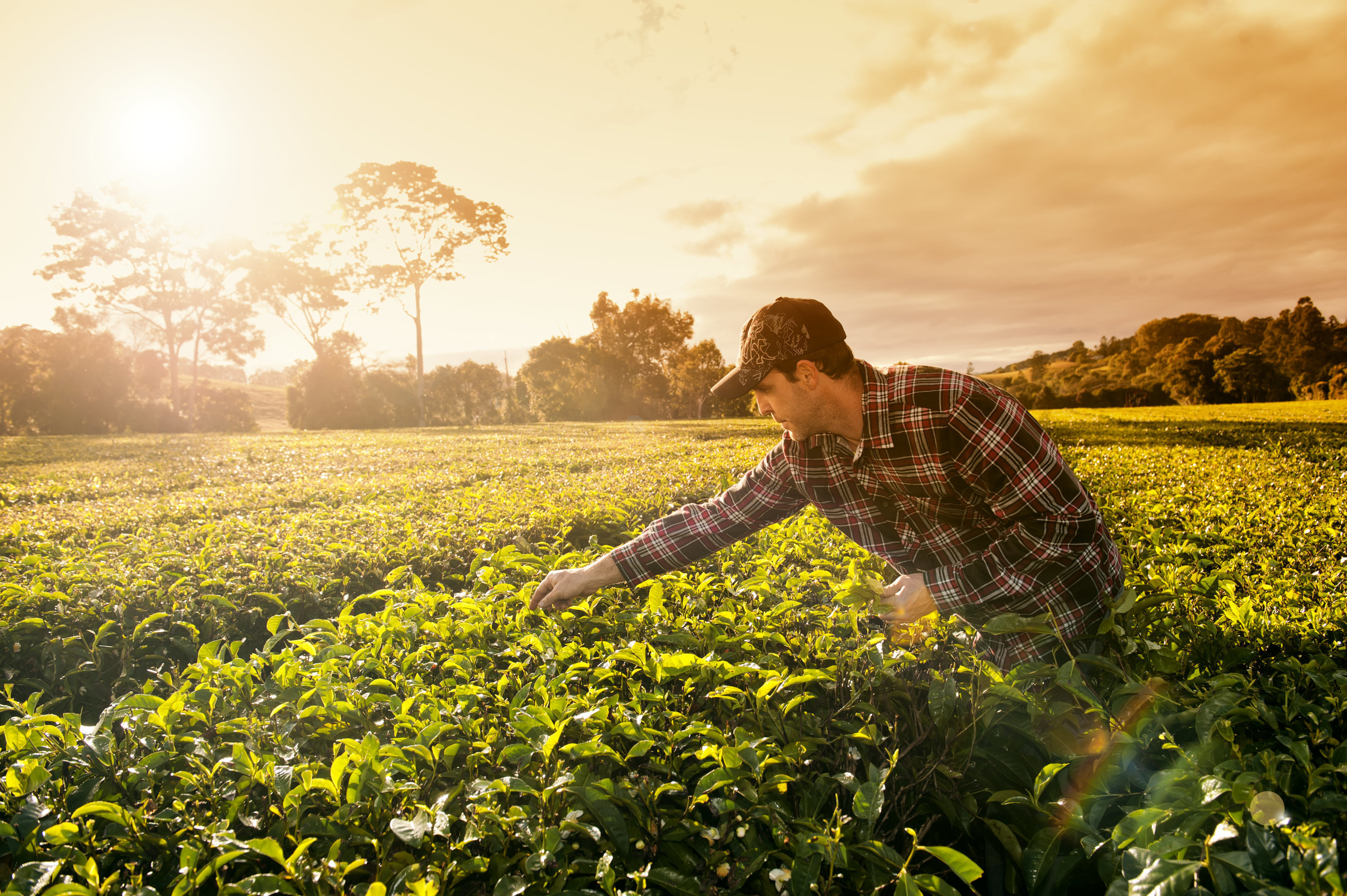 Madura Tea - An Australian Success Story 'From Plantation to Cup'