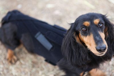 Lil Back Bracer is a dog back brace that alleviates pain and discomfort, helping small dogs with back problems to live a more full and happy life.  (PRNewsFoto/Lil Back Bracer)