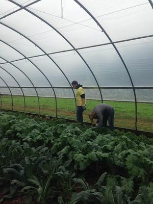 EY Volunteers from the Philadelphia office harvesting vegetables at Living Hope Farm