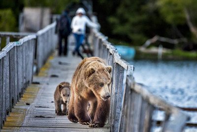 Unusual experience! Photographers and bears sharing the same bridge.